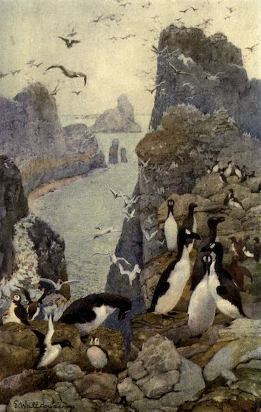 Pioneers in Canada - Great Auks Gannets Puffins and Guillemots (1912)