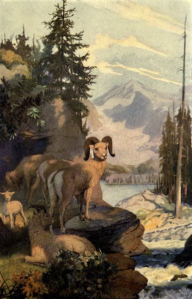 Pioneers in Canada - Big Horned Sheep of Rocky Mountains (1912)