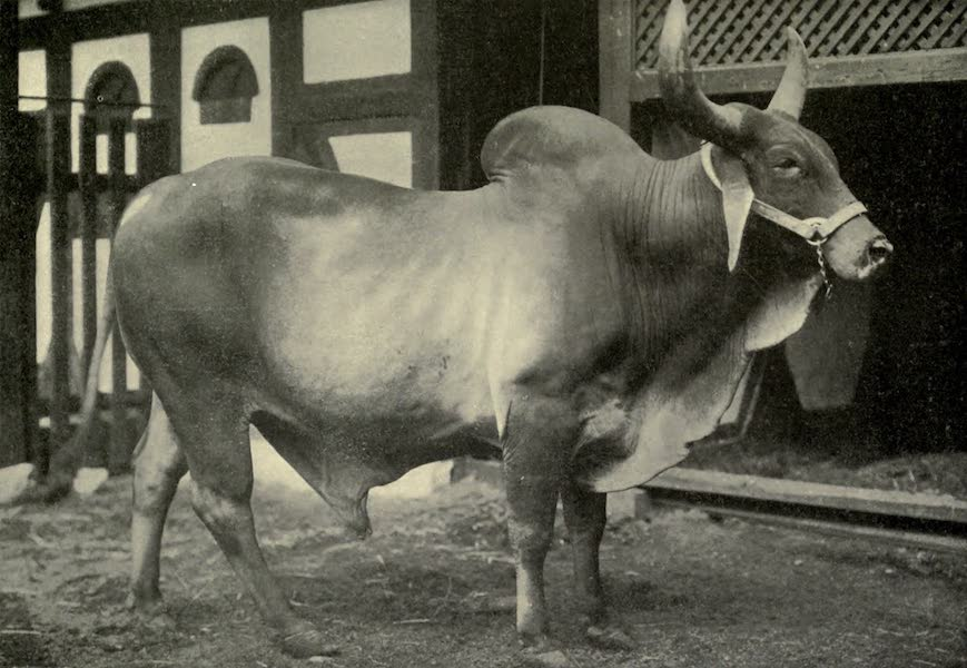 Pioneers in India - A Sacred Brahman Bull (1913)