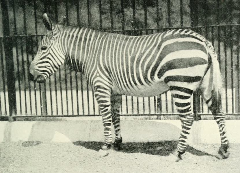 Pioneers in South Africa - Mountain Zebra (1914)
