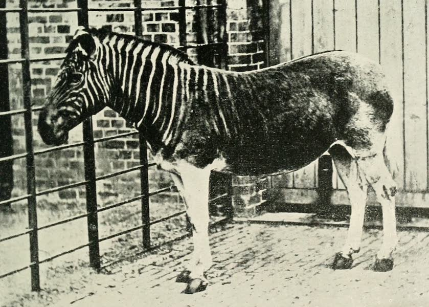 Pioneers in South Africa - Quagga (1914)