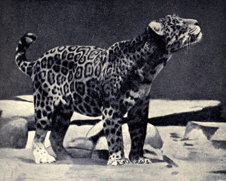 Pioneers in Tropical America - Jaguar (1914)