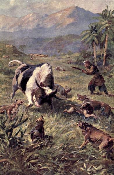 Pioneers in Tropical America - Hunting Wild Cattle in Haiti (1914)