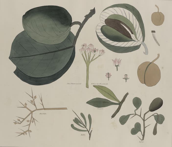 Plates Illustrative of the Researches and Operations of G. Belzoni - Tropical plants. The plant named Oshour by Burckardt; Basillah; Suvaroe; Debbo; Egley (1820)
