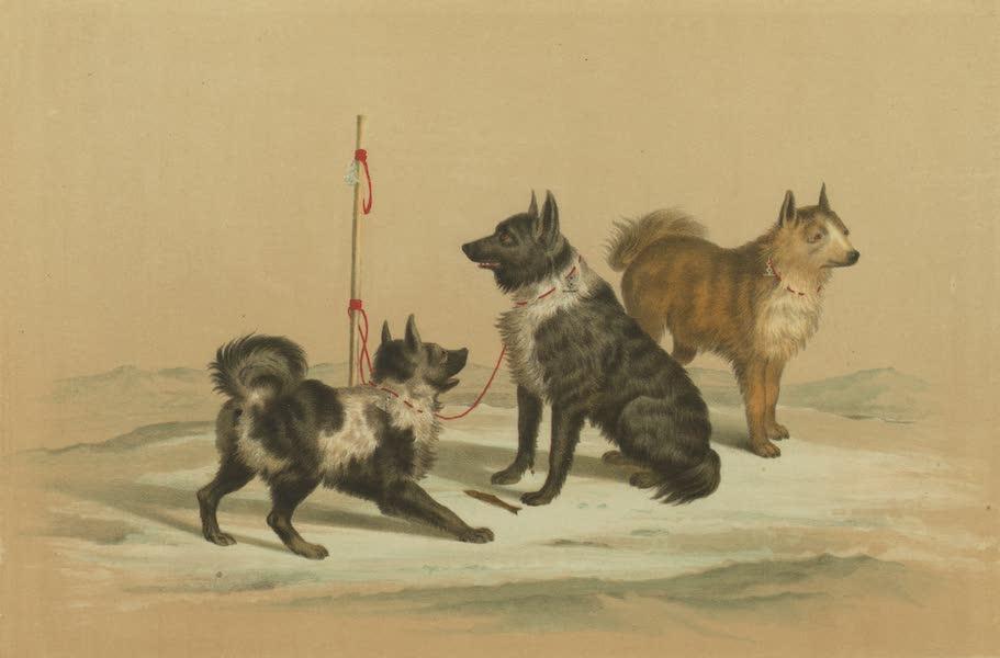 Puteshestvie po vostochnoi Sibiri - Kamchatskie sobaki (1856)