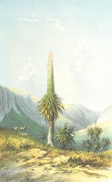 Reise nach Abessinien, den Gala-Landern - Rhynchopetalum Montanum (1868)