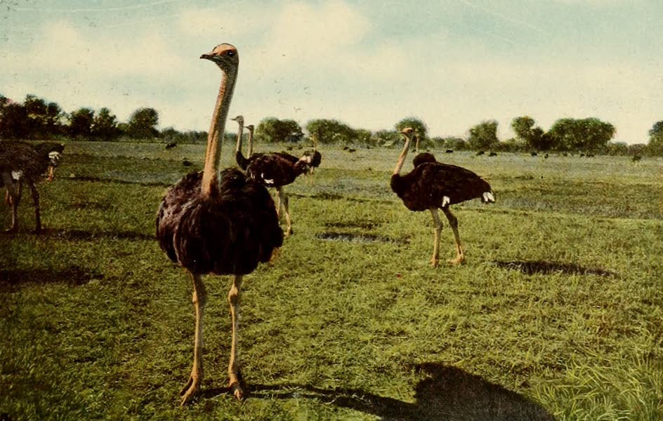 San Antonio, A Descriptive View Book in Colors - The Ostrich Farm adjoining the Hot Wells Hotel (1913)