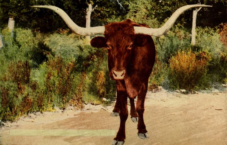 San Antonio, A Descriptive View Book in Colors - The Texas Long Horn Steer (1913)