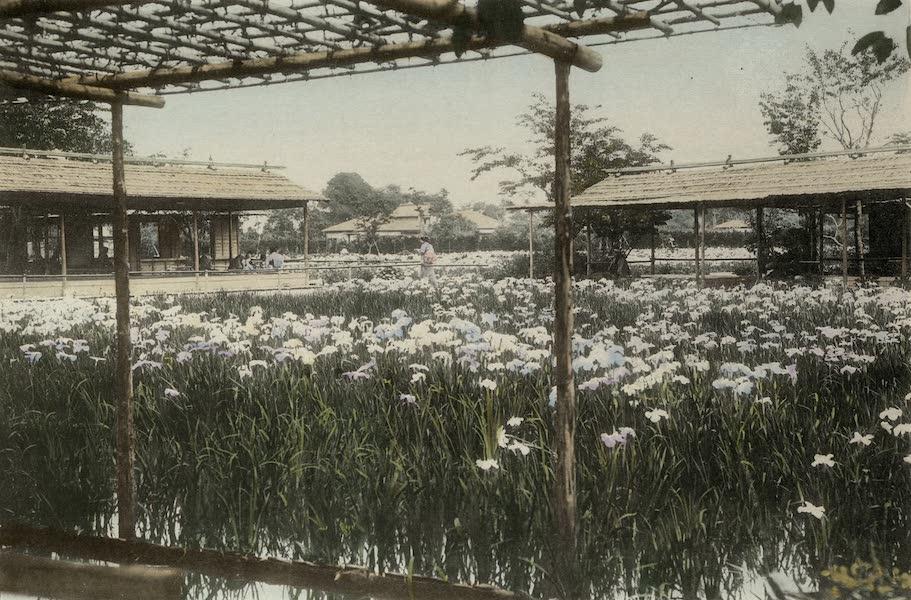 Iris Garden near Tokyo