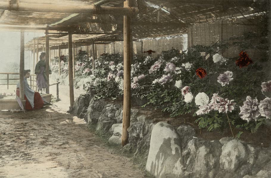 Sights and Scenes in Fair Japan - Peony Beds in Tokyo (1910)