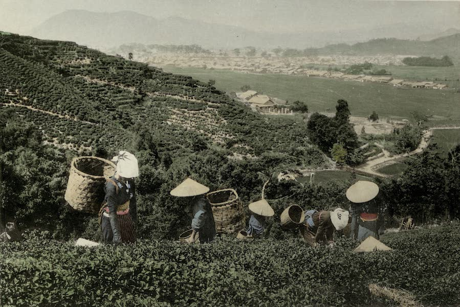 A Tea Plantation with Tea Pickers at Work