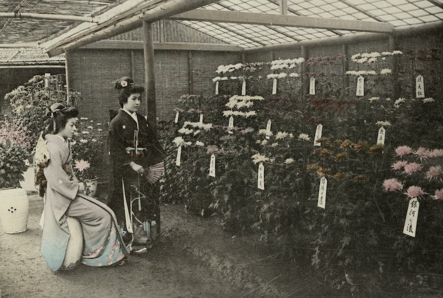 Sights and Scenes in Fair Japan - A Rich Display of Chrysanthemums (1910)