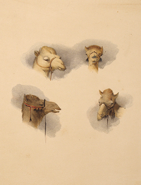 Sketches of Camels Heads