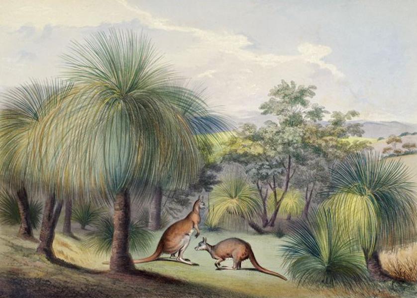 South Australia Illustrated - Grass Trees at Yankallillah, with the Red Kangaroo (1847)