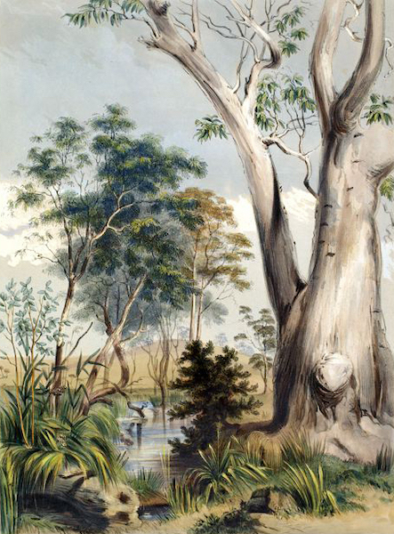 South Australia Illustrated - Old Gum Tree on the Gawler (1847)
