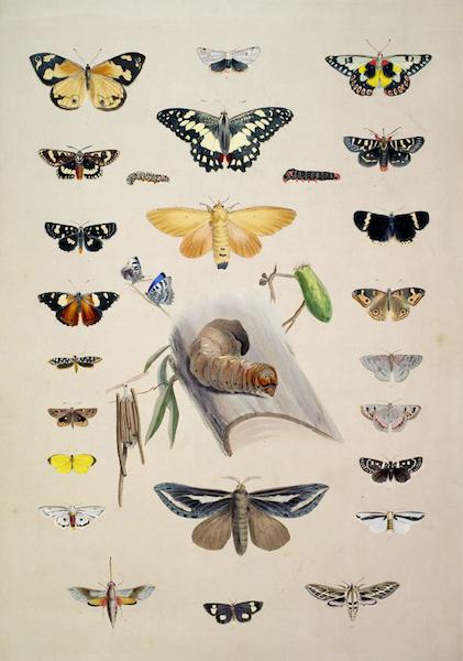 South Australia Illustrated - Entomology of South Australia Lepidoptera (1847)