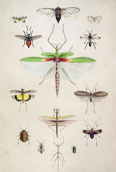 South Australia Illustrated - Entomology of South Australia, Orthoptera, &c (1847)