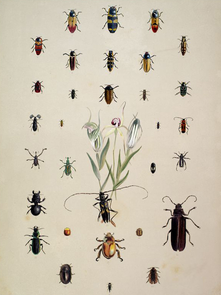 South Australia Illustrated - Entomology of South Australia (Coleoptera) (1847)