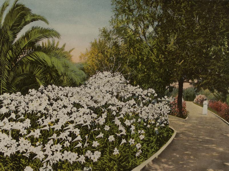 Souvenir from San Diego and Vicinity California - Easter Lilies in Mission Cliff Gardens (1915)