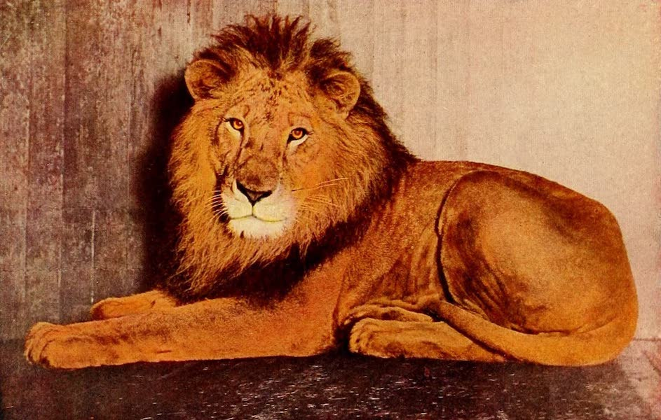 Souvenir of Chicago in Colors - Lion in Lincoln Park (1910)