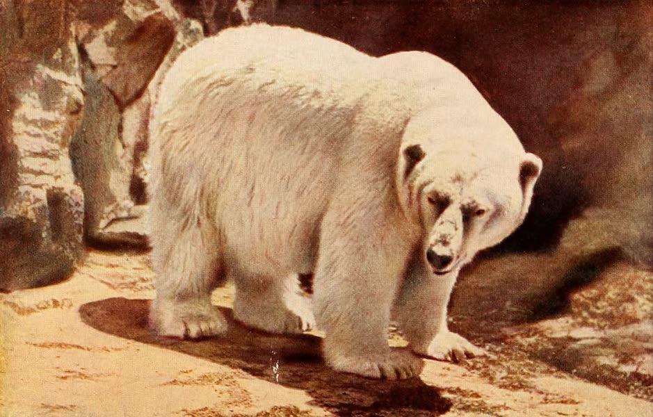 Souvenir of Chicago in Colors - Polar Bear in Lincoln Park (1910)