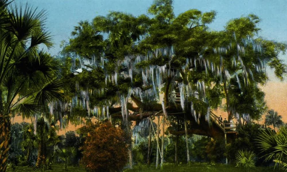 Souvenir of Daytona and Daytona Beach, Florida - Famous Big Tree, Daytona. The Largest Oak Tree in the State (1917)