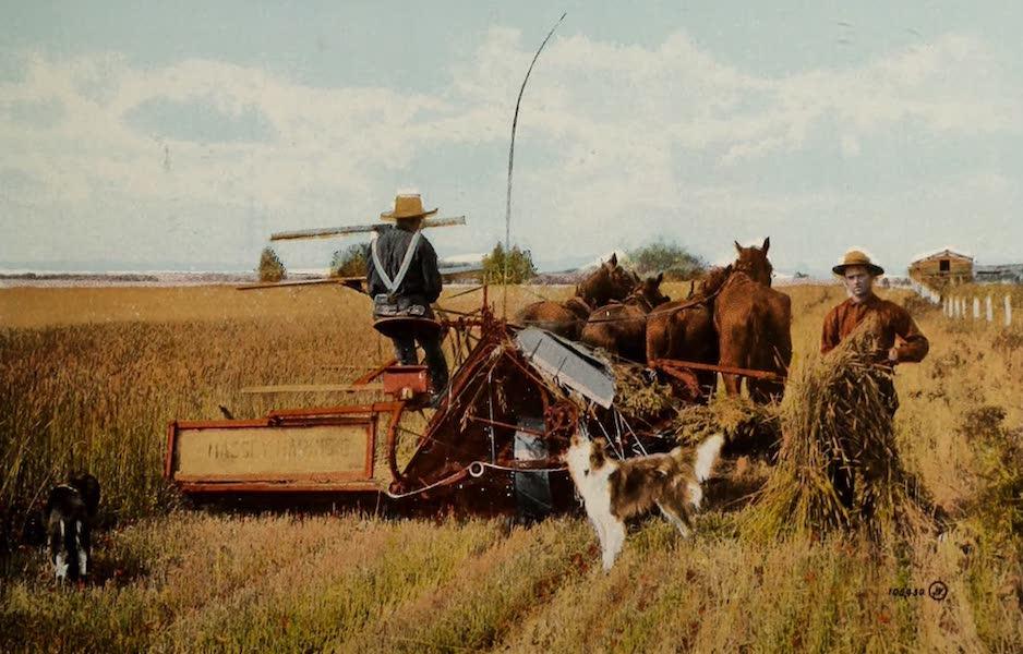 Souvenir of Edmonton, Alta. - Harvesting near Edmonton (1910)