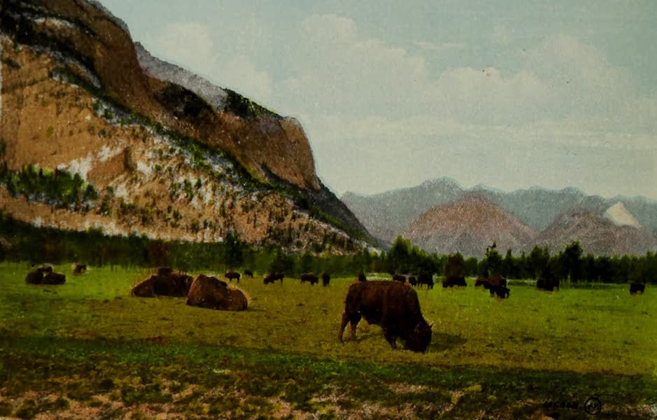 Souvenir of the Rockies [Canadian Rockies] - Buffalo in Park, Banff (1910)