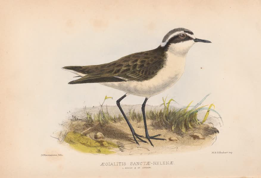 St. Helena: A Description of the Island - Aegialitis Sanctae Helenae (1875)