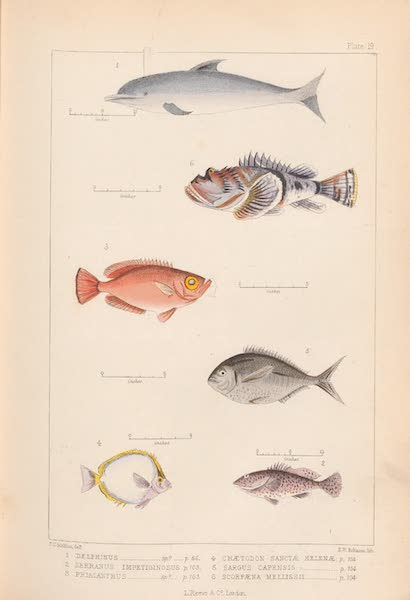St. Helena: A Description of the Island - Plate 19 - Fish (1875)