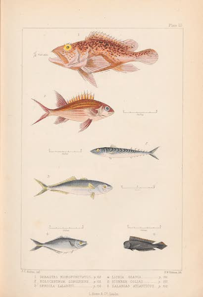 St. Helena: A Description of the Island - Plate 20 - Fish (1875)