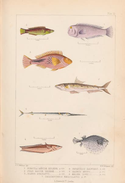 St. Helena: A Description of the Island - Plate 21 - Fish (1875)