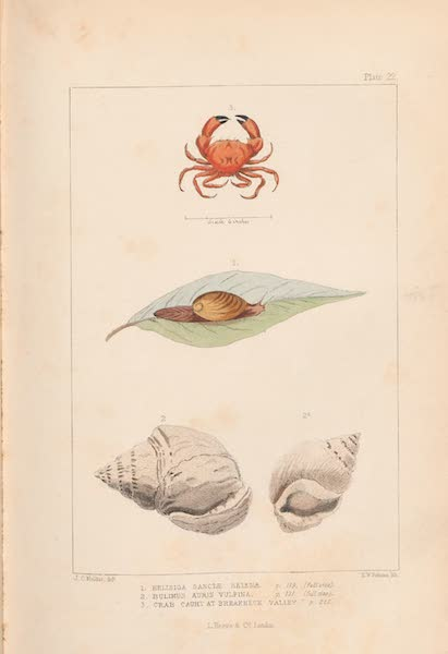 St. Helena: A Description of the Island - Plate 22 - Mollusks (1875)