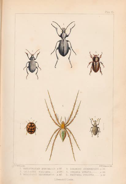 St. Helena: A Description of the Island - Plate 23 - Insects (1875)