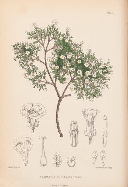 St. Helena: A Description of the Island - Frankenia portulacifolia (1875)