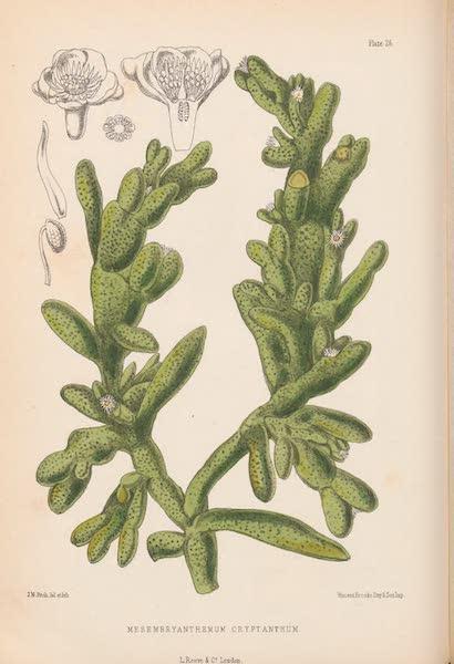 St. Helena: A Description of the Island - Mesembryanthemum cryptanthum (1875)