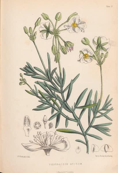 St. Helena: A Description of the Island - Pharnaceum acidum (1875)