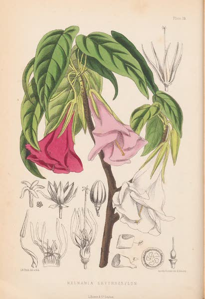 St. Helena: A Description of the Island - Melhania erythroxylon (1875)