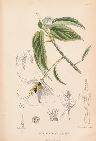 St. Helena: A Description of the Island - Melhania melanoxylon (1875)