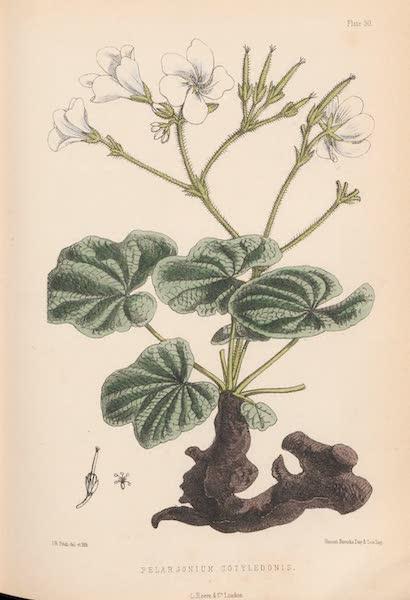 St. Helena: A Description of the Island - Pelargonium cotyledonis (1875)