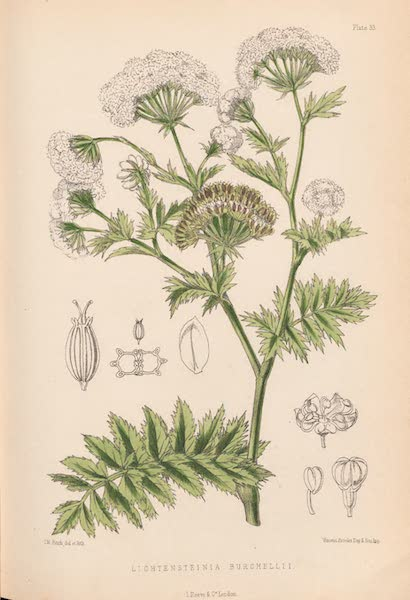 St. Helena: A Description of the Island - Lichtensteinia Burchellii (1875)