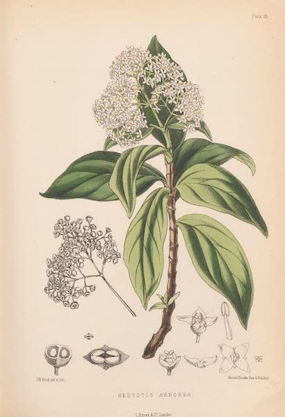 St. Helena: A Description of the Island - Hedyotis Arborea (1875)