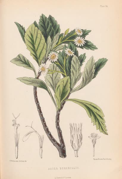 St. Helena: A Description of the Island - Aster Burchellii (1875)