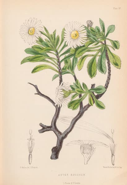 St. Helena: A Description of the Island - Aster Rugosum (1875)