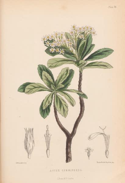 St. Helena: A Description of the Island - Aster Gummiferus (1875)