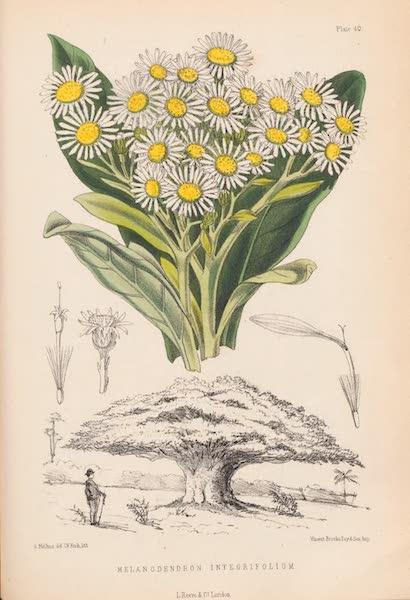 St. Helena: A Description of the Island - Melanodendron Integrifolium (1875)