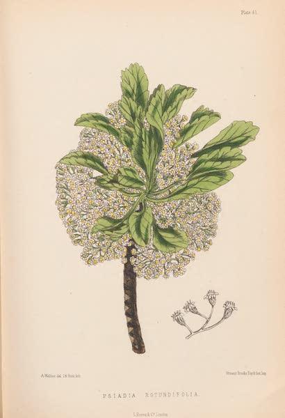 St. Helena: A Description of the Island - Psiadia Rotundifolia (1875)
