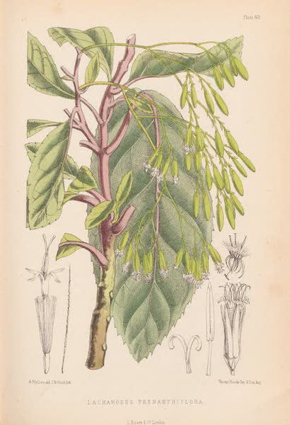 St. Helena: A Description of the Island - Lanchanodes Prenanthiflora (1875)