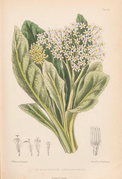 St. Helena: A Description of the Island - Pladaroxylon Leucadendron (1875)