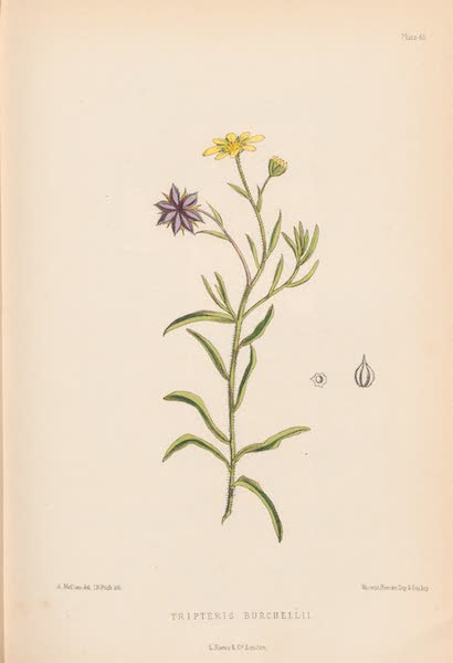 St. Helena: A Description of the Island - Tripteris Burchelli (1875)